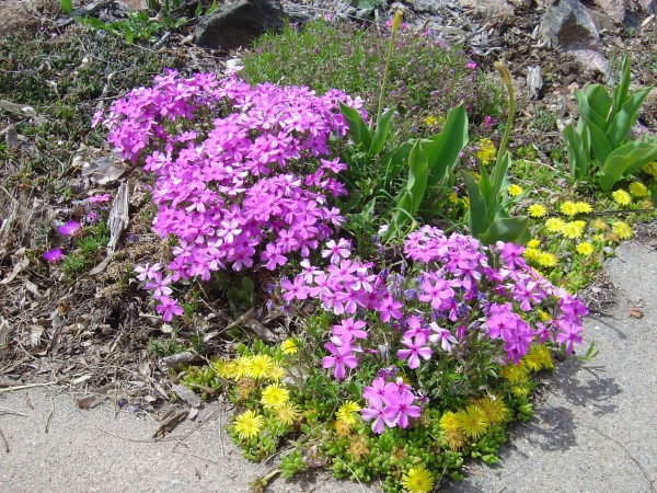 Ice Plant And Xeriscape