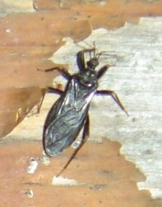 photo of a black bug on wall with peeling paint