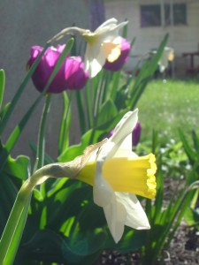 photo of yellow daffodils and magenta tulips in a yard