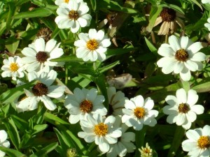 photo of white daisies in the sunlight