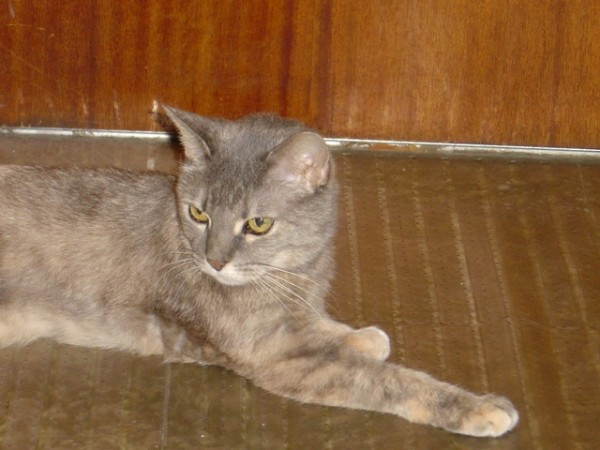 Gray Cat in Front of Door