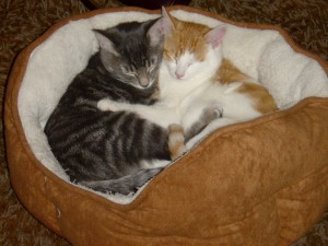 cute photo of two kittens one grey and one orange hugging in a kitty cat bed