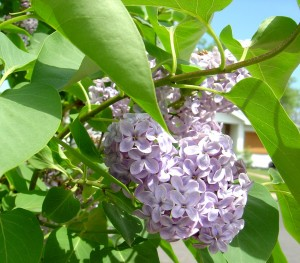 Closeup Photo of Purple Lilac Flowers