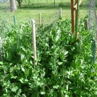 photo of pea vines in a backyard garden