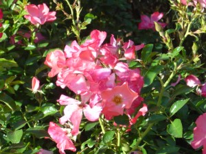 photo of pink flowers with sunlight