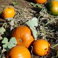 photo of fall pumpkins in a pumpkin patch