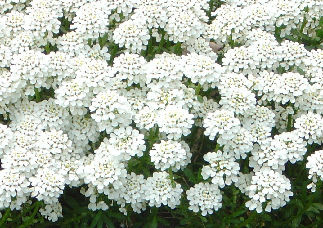 Tiny white flowers photos public domain tiny white flowers free photo click here to download full resolution image mightylinksfo