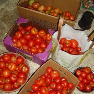 Photo of a bunch of boxes full of ripe tomatoes
