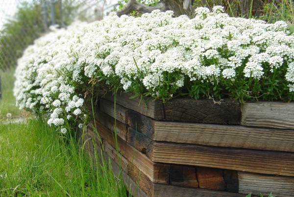photo of small white flowers overflowing in wooden planter