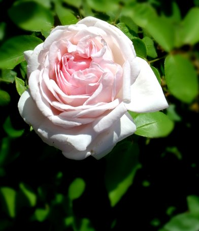 Close up photo of pink rose with green leaves in the background