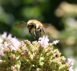 close up shot of a bee taking flight from some purple flowers