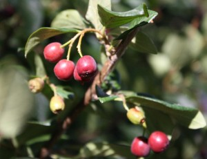 close up photo of red berries on a bush with leaves