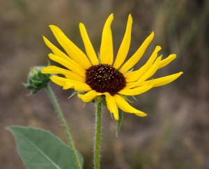 free photo of a yellow black eyed susan flower with brown center