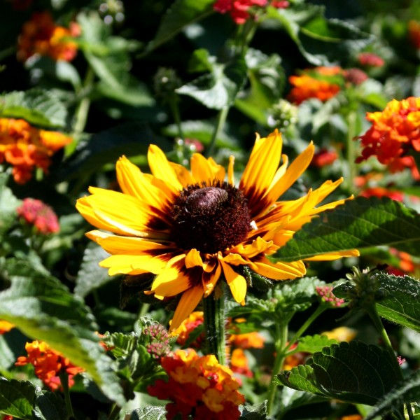 photo of yellow daisy like flower called a blackeyed susan surrounded by small orange blossoms