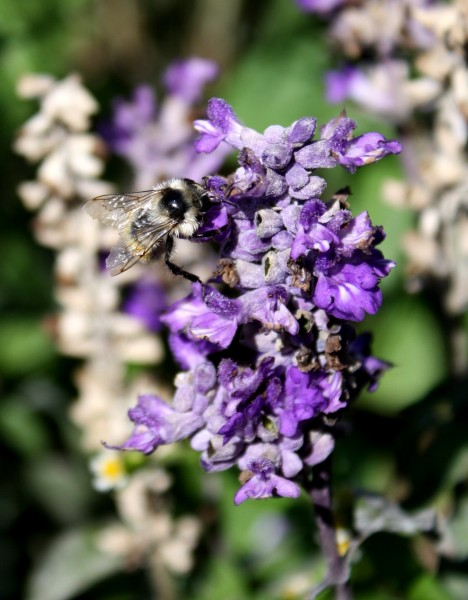 close up photo of a bee on some tiny purple flowers