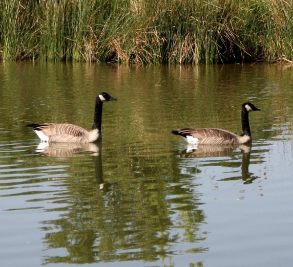 Photo of two Canadian Geese swimming in a pond