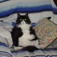 funny photo of a black and white cat slouching in a chair with his belly sticking out