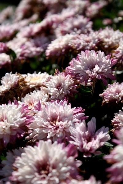 Free photo of pink chrysanthemums