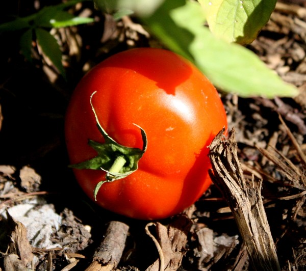 photo of a ripe red garden tomato lying on the ground