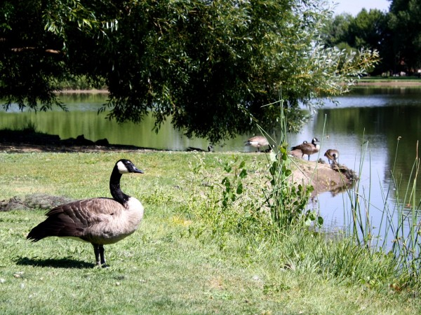 Free photo of a Canadian goose with tree and lake in the background