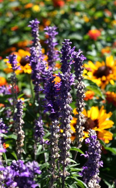 Free photo of purple lavender with yellow black eyed susan flowers in the background