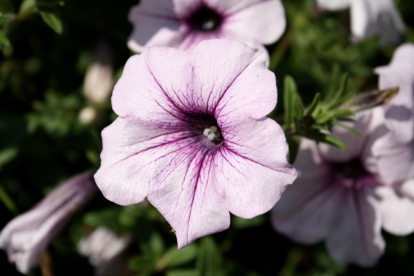 Free photo of a lavender colored light purple petunia