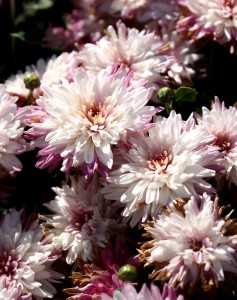 free photo of pink chrysanthemums