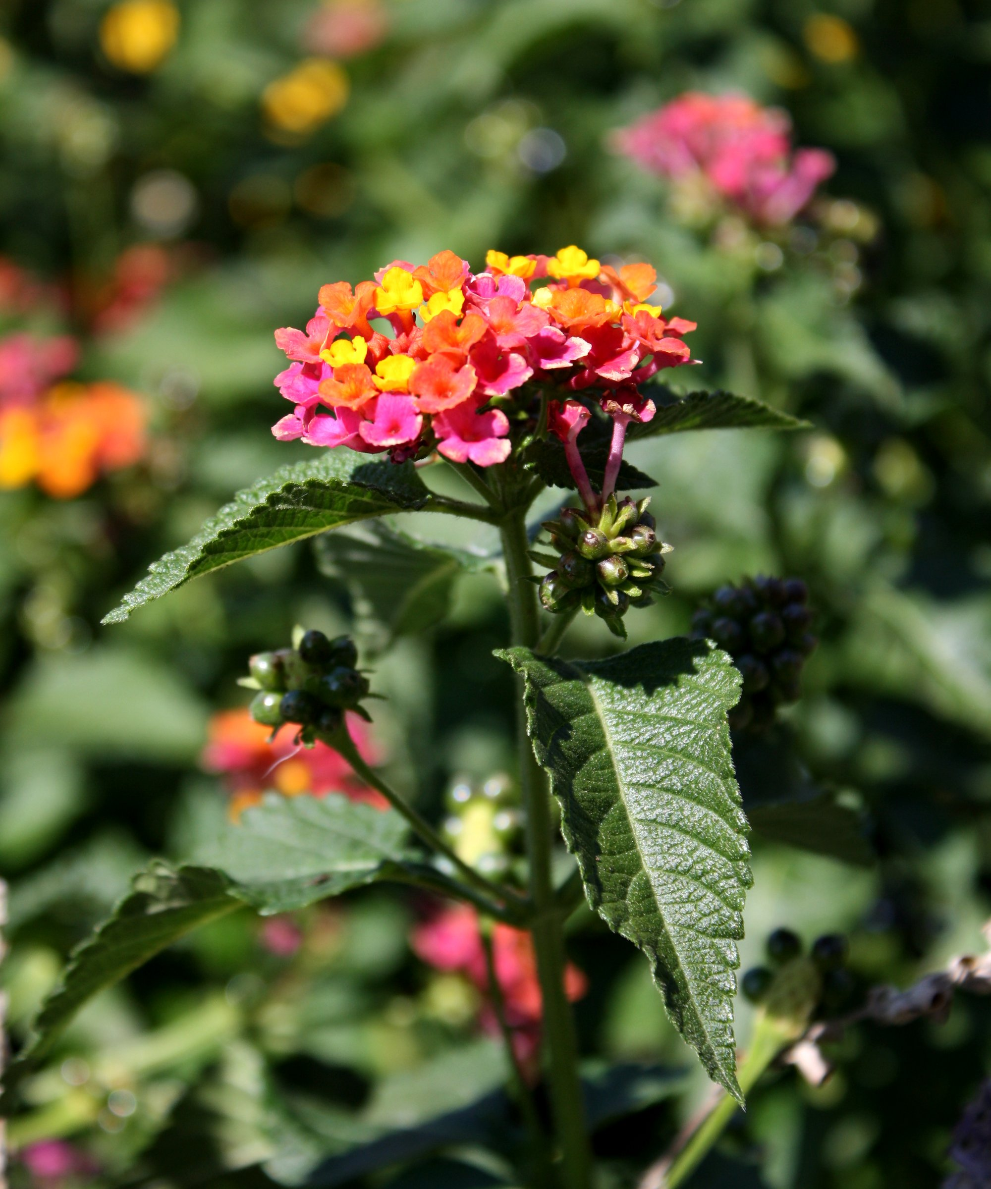 Butterfly Bush Flowers Picture Free Photograph Photos Public Domain