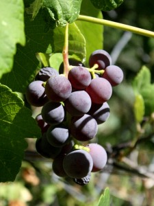 photo of a bunch of purple concord grapes hanging from the vine