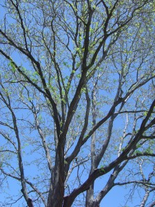 photo of leaves budding on a locust tree