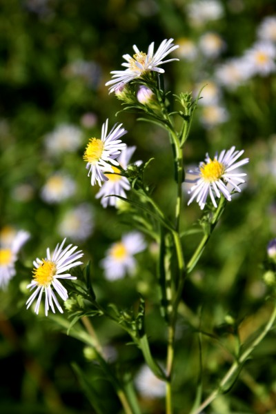 free photo of small pale purple colored flowers with yellow centers