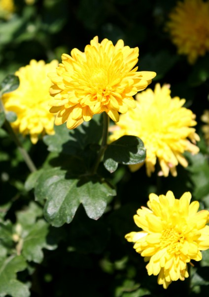 free photo of yellow chrysanthemum flowers