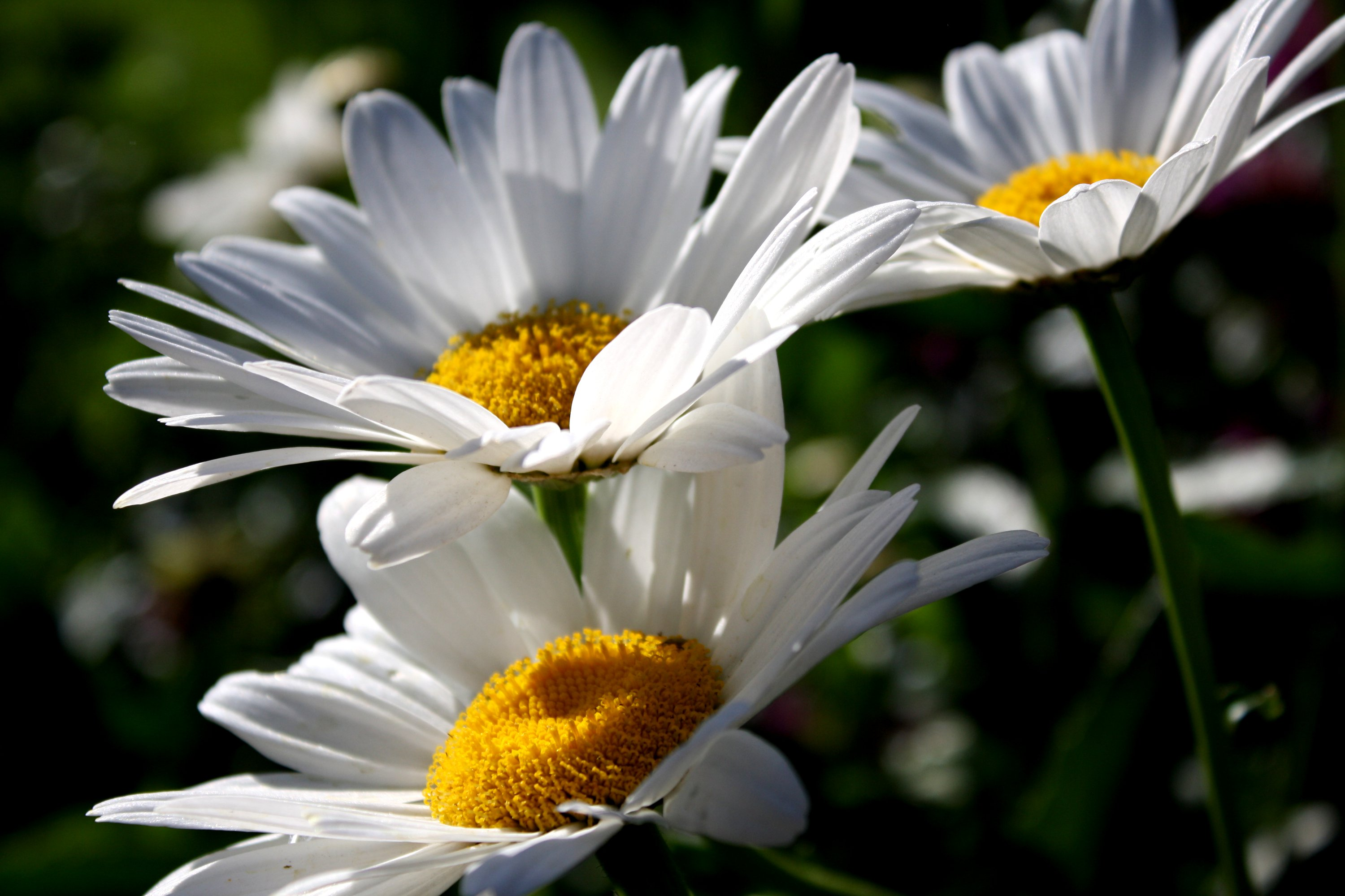 Free high resolution close up flowers picture of white daisies from ...