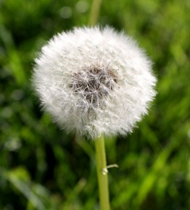 Free photo of dandelion puff ball gone to seed