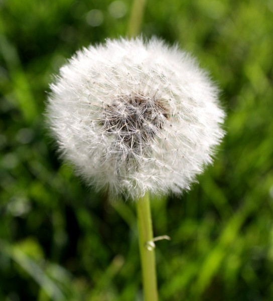 Dandelion Puff Ball Picture Free Photograph Photos