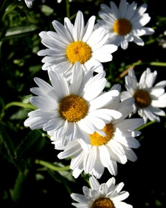 Free photograph of white daisies. Flowers