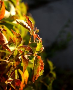 free high resolution photo of ivy leaves just getting fall color