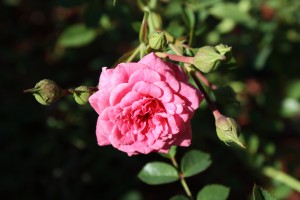 Free high resolution photo of a bright pink rose in bloom