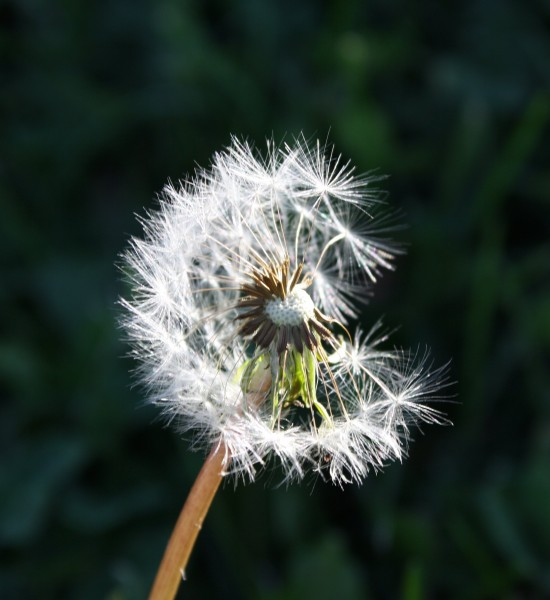 Free photo of dandelion seeds