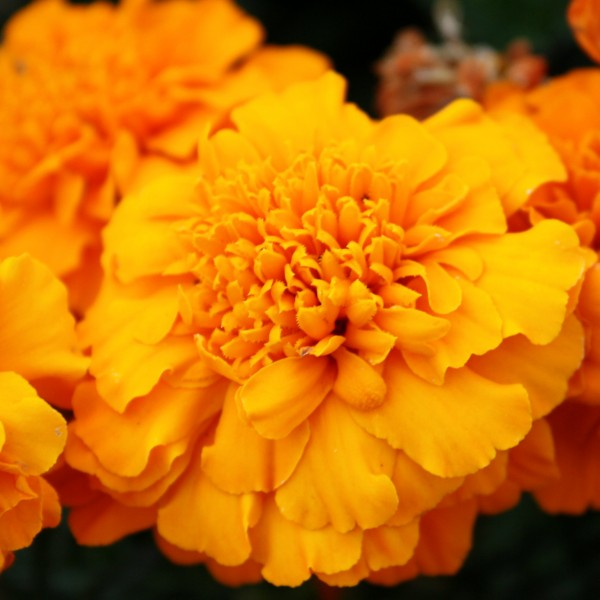 Free high resolution photo of a marigold flower