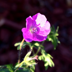 free high resolution photo of a purple flower