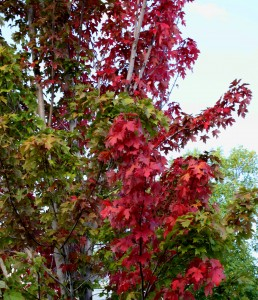 free high resolution photo of a maple tree with red autumn leaves