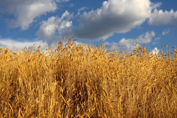 tall golden autumn grass with blue sky - free high resolution photo