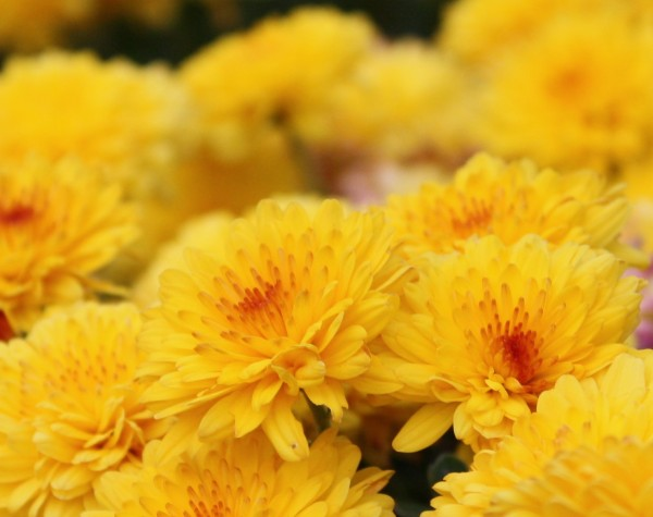free high resolution photo of yellow and orange chrysanthemums