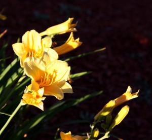 free high resolution photo of yellow flowers