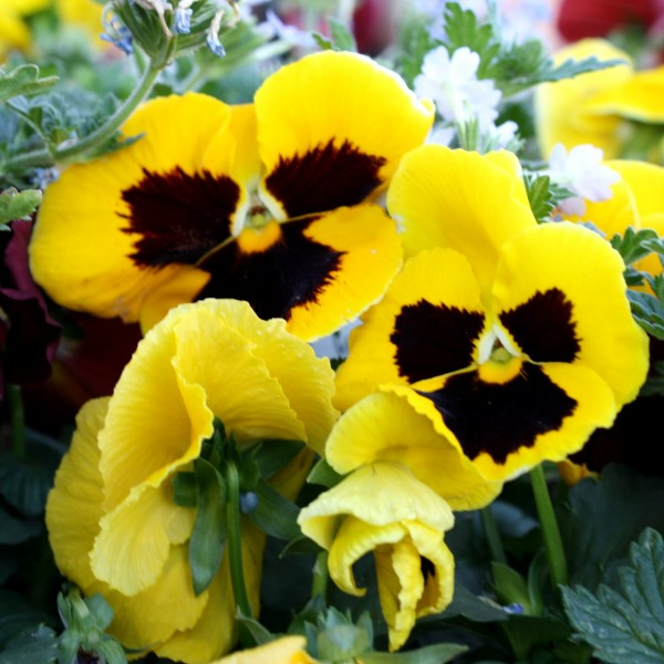 free photo of yellow pansy or viola flowers