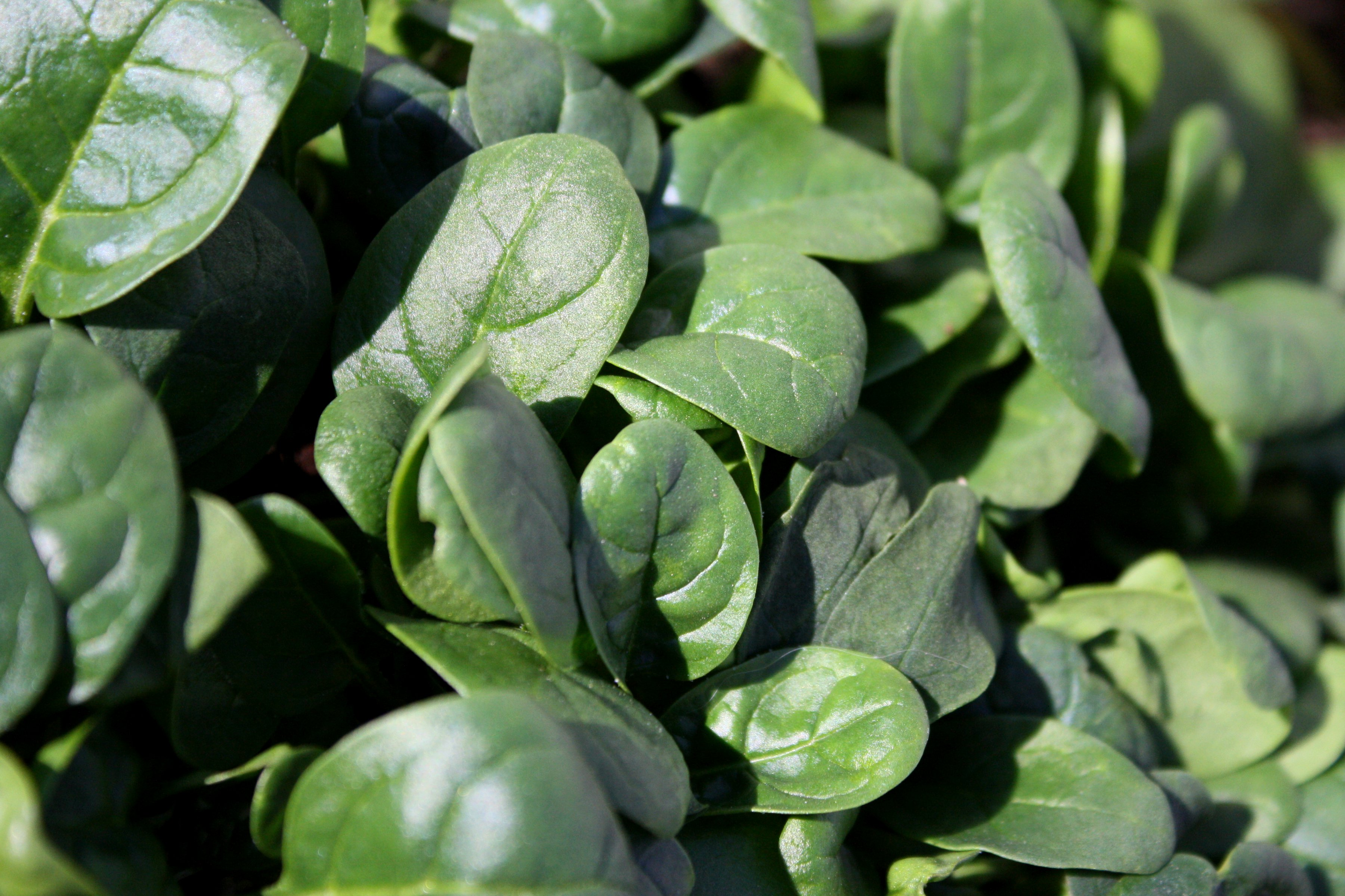 Baby Spinach - Free High Resolution Photo - Dimensions: 3600 × 2400