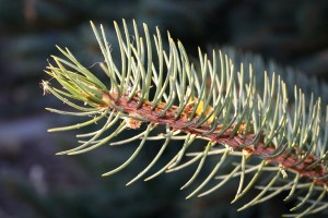 Blue Spruce Branch - free high resolution photo