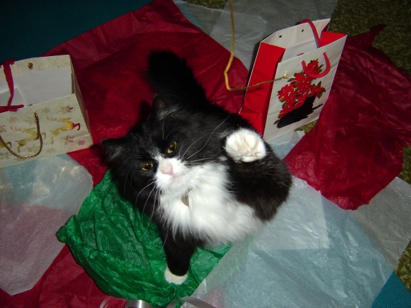 Cat Reaching for Christmas Ribbon - Free High Resolution Photo