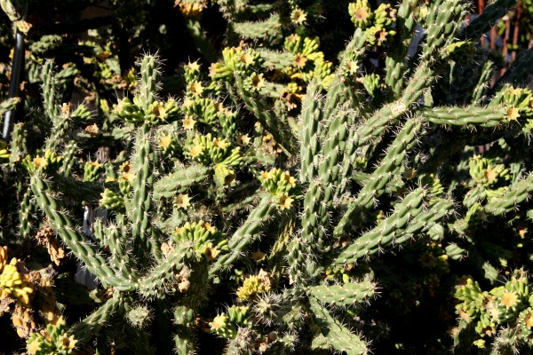 Cylindropuntia Acanthocarpa Buckhorn Cholla Cactus - Free High Resolution Photo